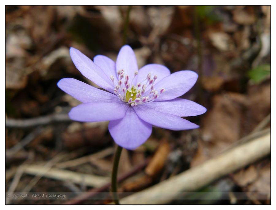 Little purple forest flower