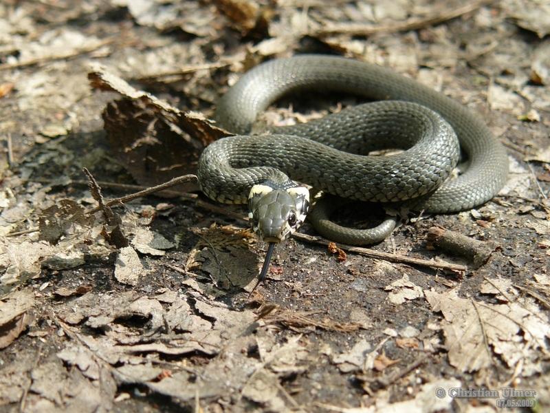 Grass Snake - I