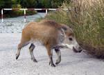 Wild Boar - II
