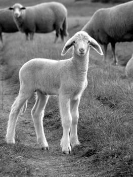 Sheep - IV
