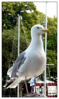 Seagull - VII