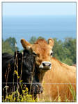 Cuddling Cattle