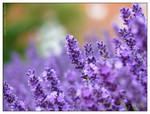 Lavender - I
