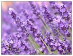 Lavender - II