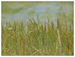Rye field and cornflowers - I