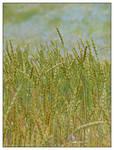 Rye field and cornflowers - II