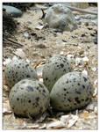 Seagull Eggs - I
