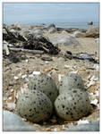 Seagull Eggs - II