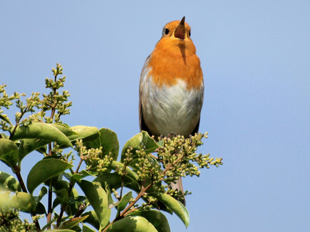 Sing Robin Sing by Jeff59