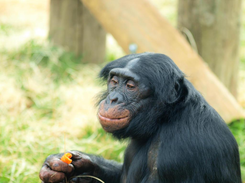 Bonobo Chimpanzee. by Jeff59