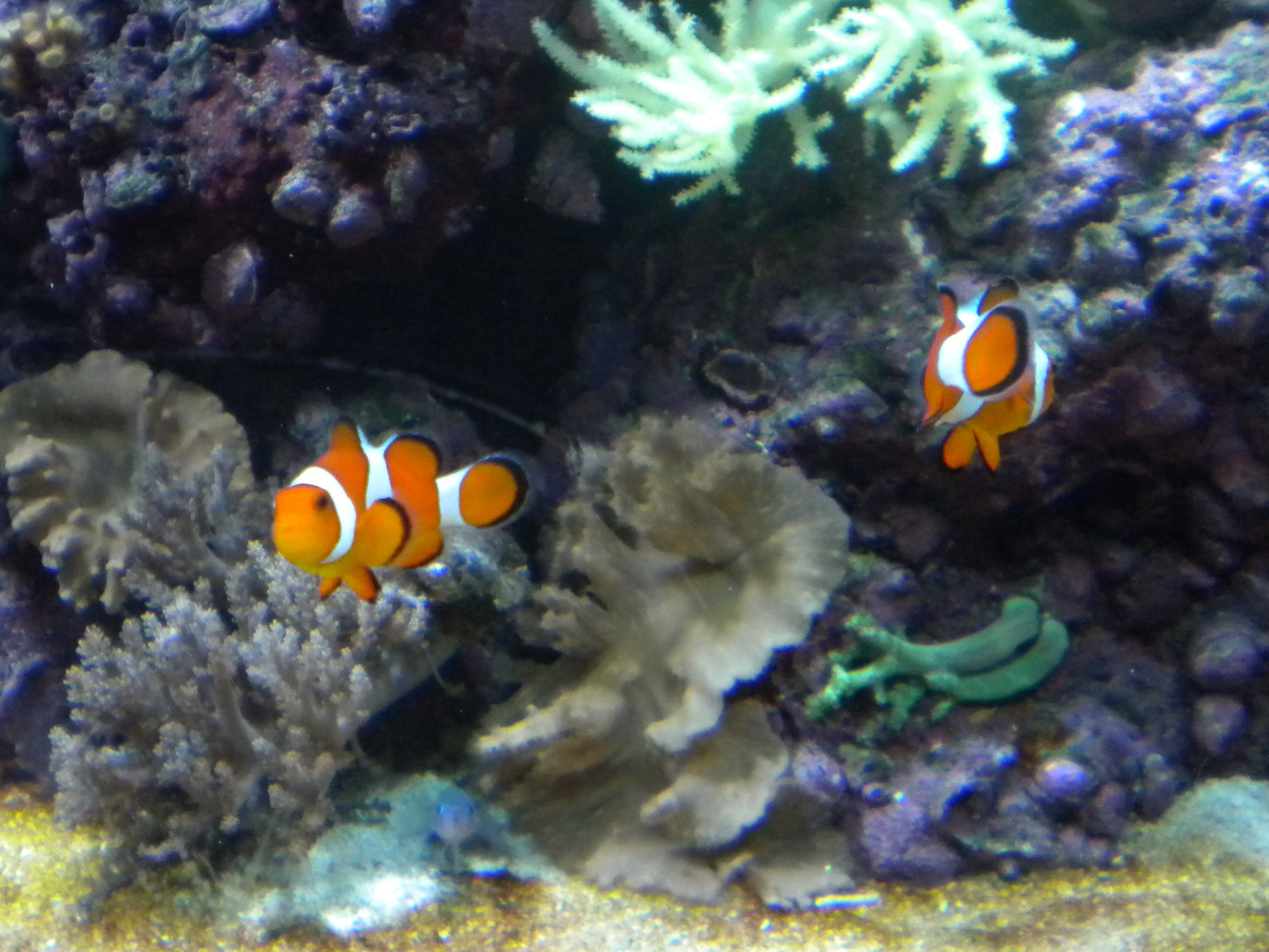 Are there blue clown fish for Clown fish facts