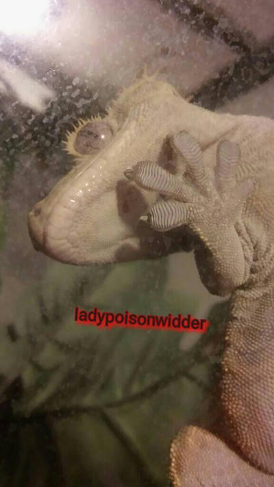Barney the crested gecko by ladypoison425