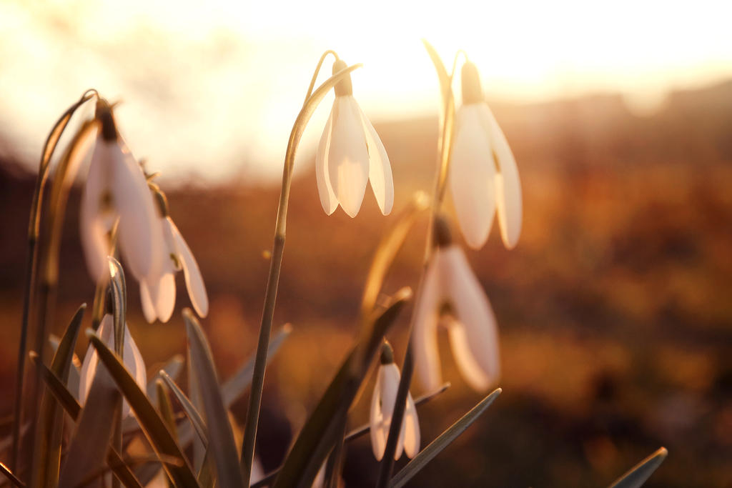 snowdrops by vularia