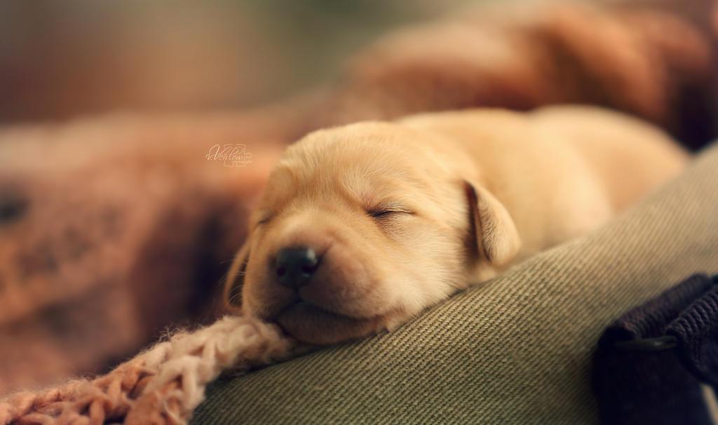 puppy dreams 2 by vularia