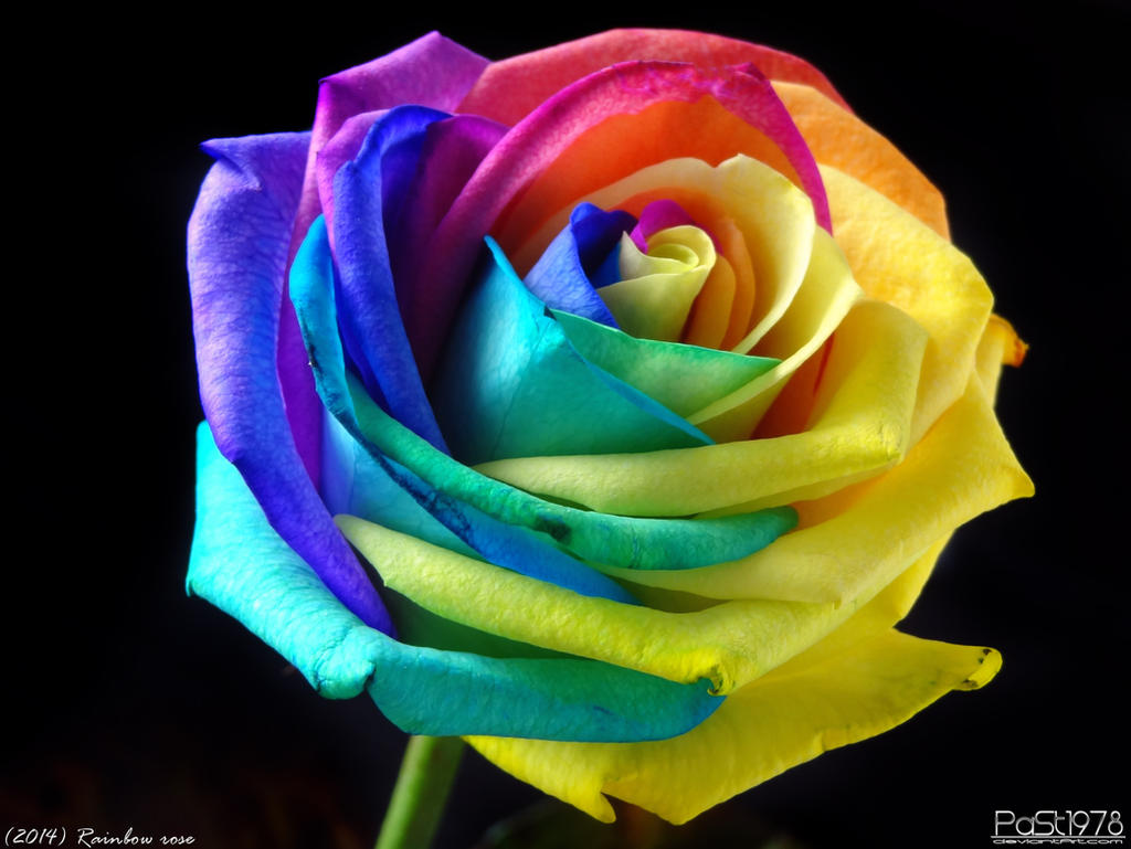 Rainbow rose by past1978 on deviantart for Where can i buy rainbow roses