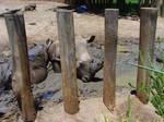 Zoo stock rhino 7