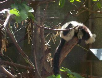 zoo stock primates 19