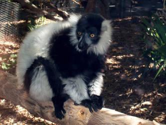 zoo stock primates 20