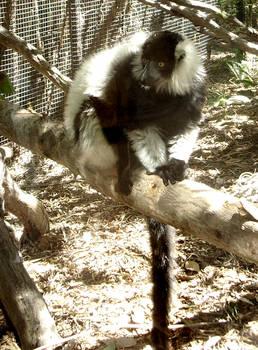 zoo stock primates 22