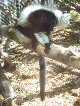 zoo stock primates 23