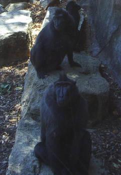 zoo stock primates 30