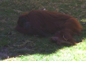 zoo stock primates 31
