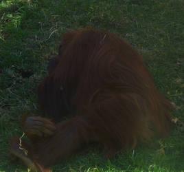 zoo stock primates 32