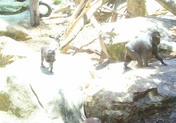 zoo stock primates 33