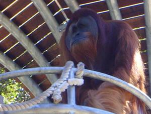 zoo stock primates 34