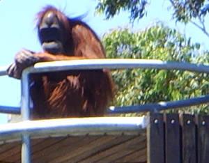 zoo stock primates 36