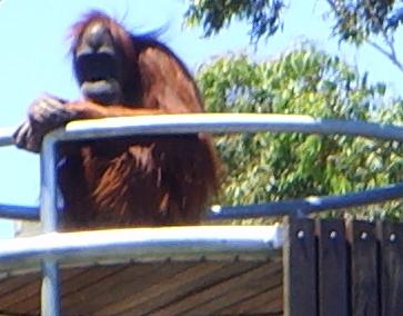 zoo stock primates 36 by hatestock
