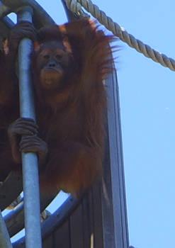 zoo stock primates 37