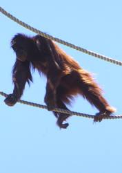 zoo stock primates 38