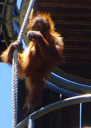 zoo stock primates 39