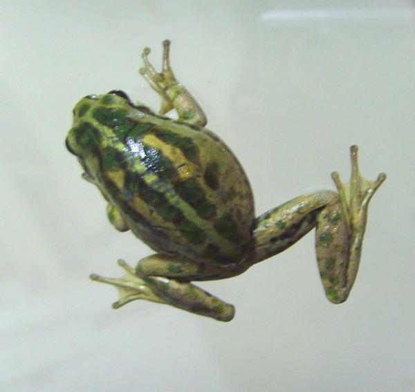 frog stock 40