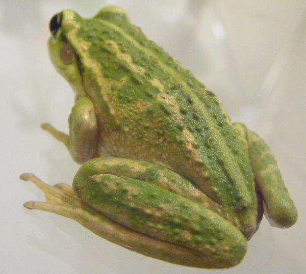 frog stock 133