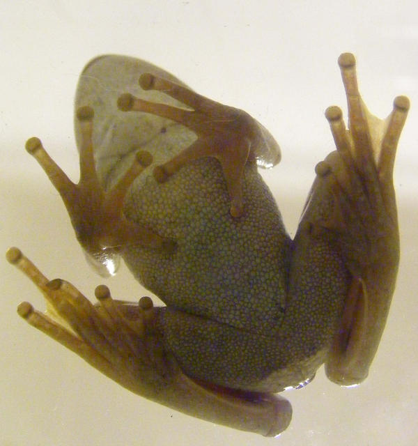 frog stock 140