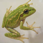 frog stock 142