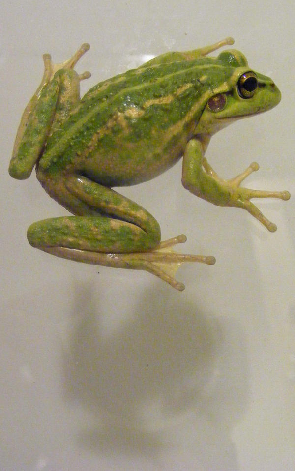 frog stock 143 by hatestock