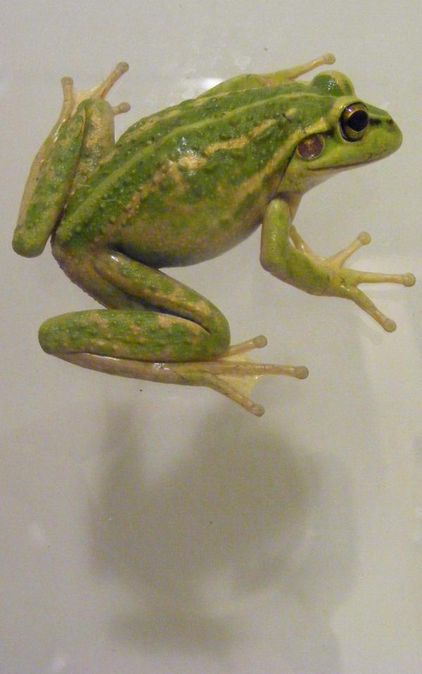 frog stock 143