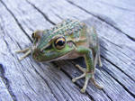 frog stock 183