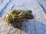 frog stock 186