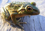 frog stock 189