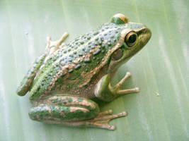 frog stock 191