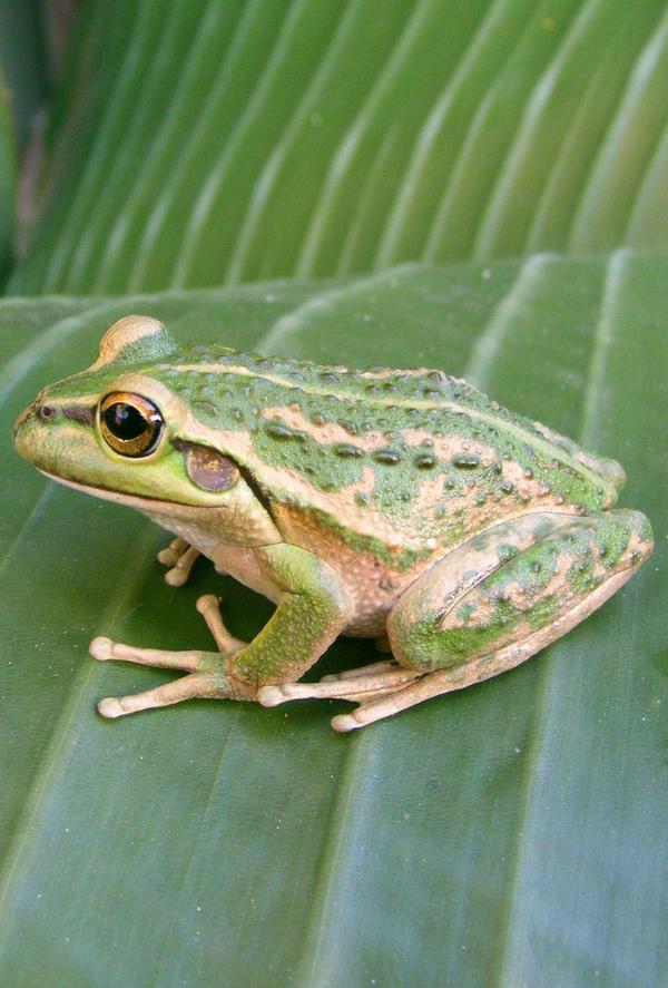 frog stock 199