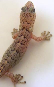 Gecko Stock 2