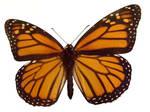 moths and butterflies stock 94