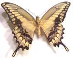 moths and butterflies stock118