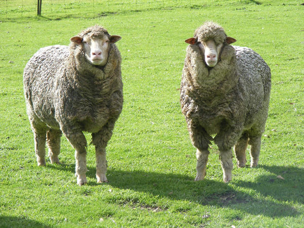 Sheep stock 4