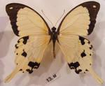 moths and butterflies stock131